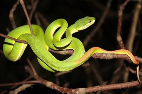 Cách xử trí khi bị rắn lục đuôi đỏ cắn -